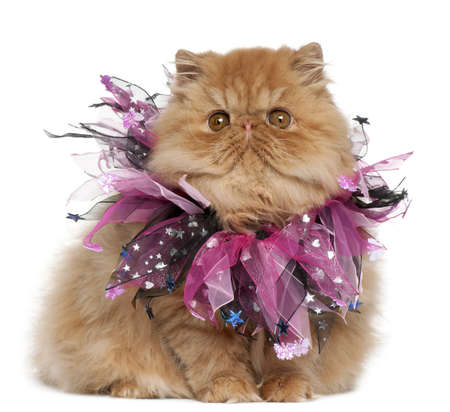 dressed up: Persian kitten wearing pink ribbons, 4 months old, sitting in front of white background