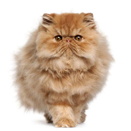 persian cat: Persian kitten, 4 months old, walking in front of white background