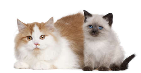 2 5 months: British Shorthair kittens, 2 and 5 months old, sitting in front of white background Stock Photo