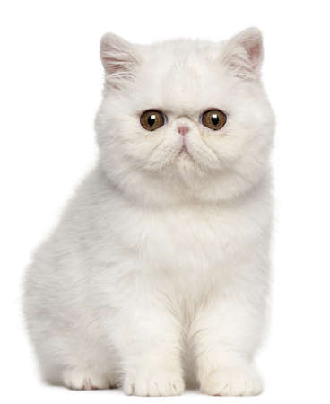 kitten small white: Exotic Shorthair kitten, 4 months old, sitting in front of white background