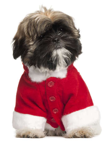 Shi Tzu puppy in Santa outfit, 3 months old, sitting in front of white background photo