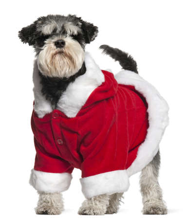 Miniature Schnauzer wearing Santa outfit, 4 and a half years old, standing in front of white background photo