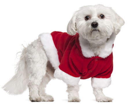 Maltese wearing Santa outfit, 5 years old, standing in front of white background photo