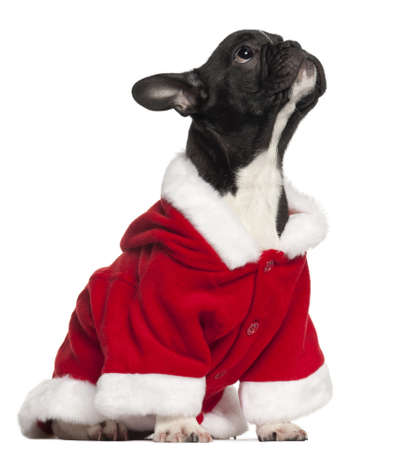 French bulldog puppy in Santa outfit, 4 and a half years old, sitting in front of white background photo