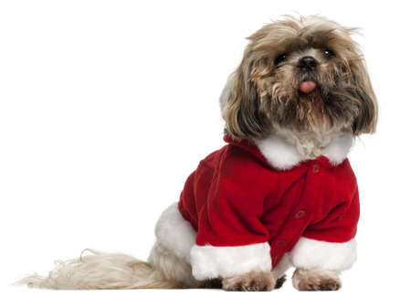 Old and dirty Shih Tzu in Santa outfit, 14 years old, sitting in front of white background photo