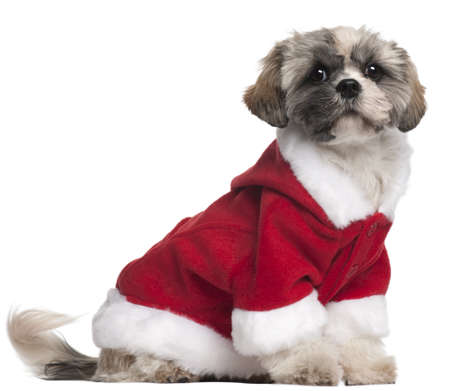 Shih Tzu in Santa outfit, 7 months old, sitting in front of white background Stock Photo - 8650553