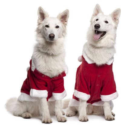 Berger Blanc Suisse dogs, or White Swiss Shepherd Dogs wearing Santa outfits sitting in front of white background photo