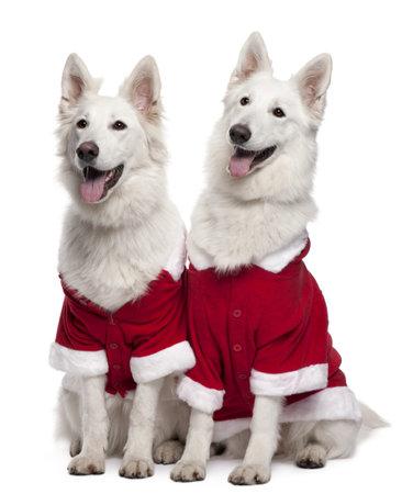 perros vestidos: Berger Blanc Suisse perros o perros de pastor suizo blanco vistiendo trajes de Santa sentado frente a fondo blanco Foto de archivo