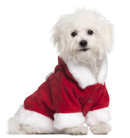 Bolognese puppy in Santa outfit, 6 months old, sitting in front of white background Stock Photo - 8650304