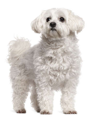 Maltese, 11 years old, standing in front of white background photo