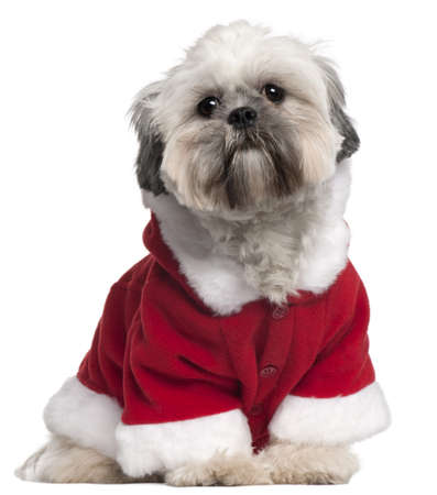 Lhasa Apso in Santa outfit, 13 months old, sitting in front of white background photo