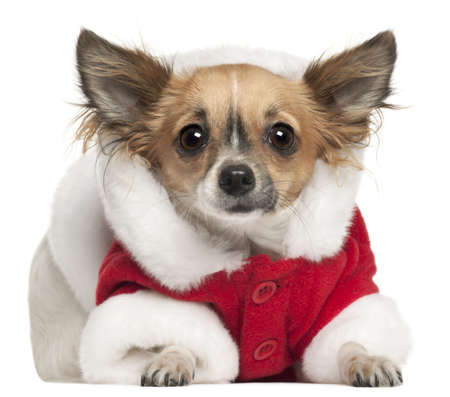 Chihuahua in Santa outfit, 1 year old, lying in front of white background photo