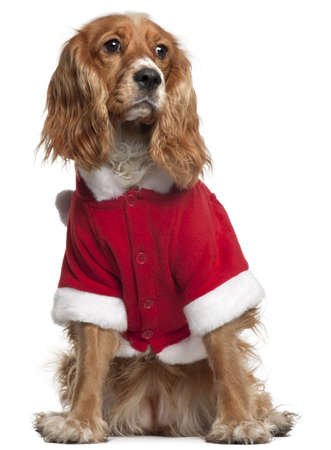English Cocker Spaniel in Santa outfit, 10 months old, sitting in front of white background photo