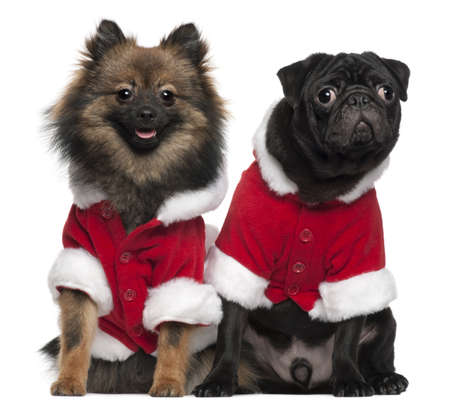 pug puppy: Pug puppy, 6 months old, and Spitz, 7 months old, wearing Santa outfits in front of white background