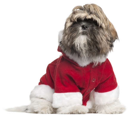 Shih Tzu puppy in Santa outfit, 4 months old, sitting in front of white background photo