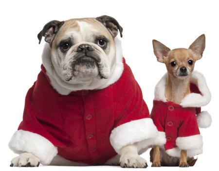 perros vestidos: Bulldog ingl�s y Chihuahua en trajes de Santa sentado frente a fondo blanco