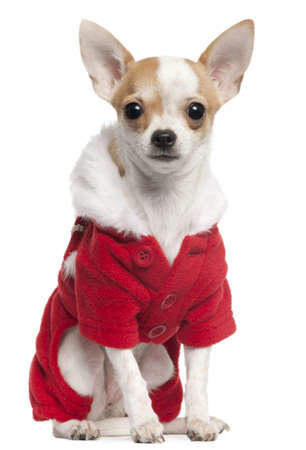 Chihuahua wearing Santa outfit, 2 and a half years old, sitting in front of white background photo