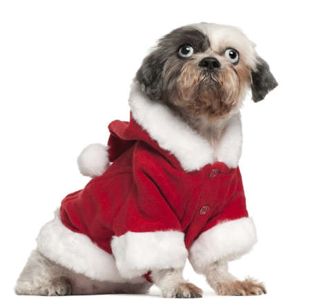 Shih Tzu wearing Santa outfit, 12 and a half years old, sitting in front of white background photo