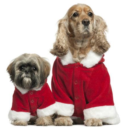perros vestidos: English Cocker Spaniel y Shih Tzu en trajes de Santa sentado frente a fondo blanco
