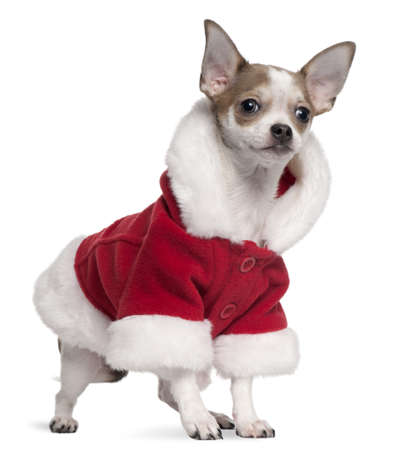 Chihuahua puppy wearing Santa outfit, 6 months old, standing in front of white background photo