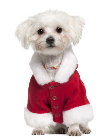 Maltese wearing Santa outfit, 18 months old, sitting in front of white background photo