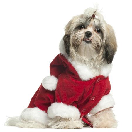 9 months old: Shih Tzu puppy vistiendo traje de Santa, 9 meses de edad, sentado frente a fondo blanco
