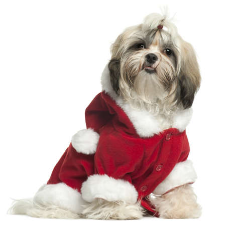 shih tzu: Shih Tzu puppy wearing Santa outfit, 9 months old, sitting in front of white background