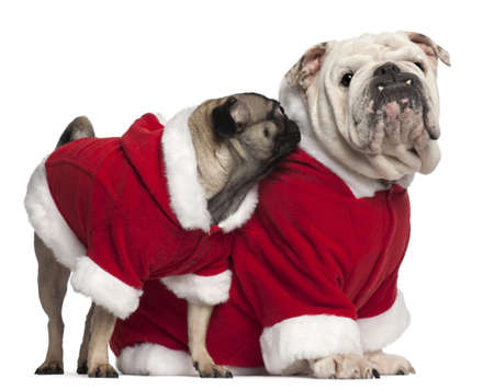 English bulldog and Pug wearing Santa outfits in front of white background photo