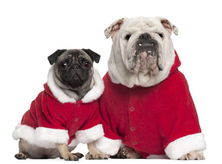 santa outfit: English bulldog and Pug wearing Santa outfits in front of white background