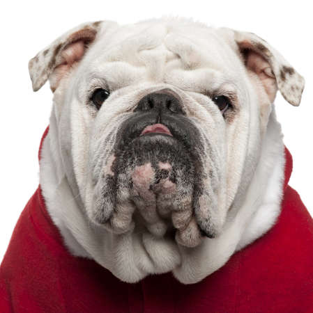 Close-up of English bulldog in Santa outfit, 4 years old, in front of white background photo