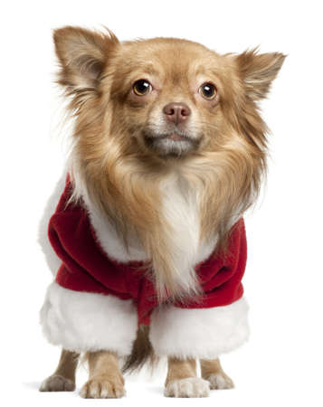 Chihuahua wearing Santa outfit, 1 year old, standing in front of white background photo