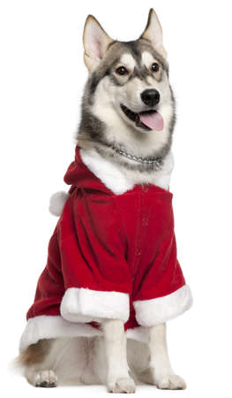 santa outfit: Siberian Husky wearing Santa outfit, 7 months old, sitting in front of white background Stock Photo