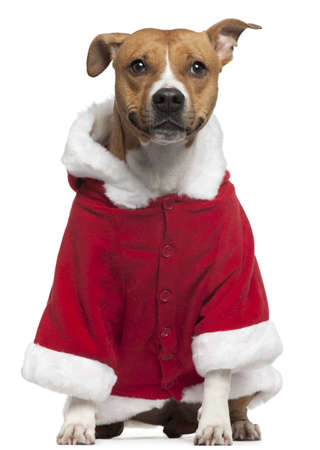 american staffordshire terrier: American Staffordshire Terrier wearing Santa outfit, 3 years old, sitting in front of white background