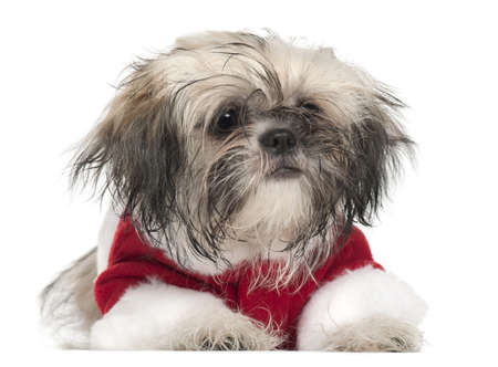 Shi Tzu puppy in Santa outfit, 5 months old, lying in front of white background Stock Photo - 8654306