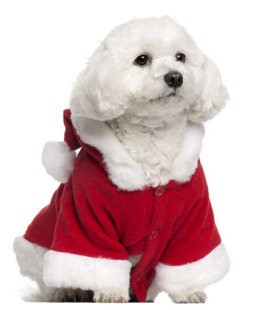 Maltese wearing Santa outfit, 5 years old, sitting in front of white background photo