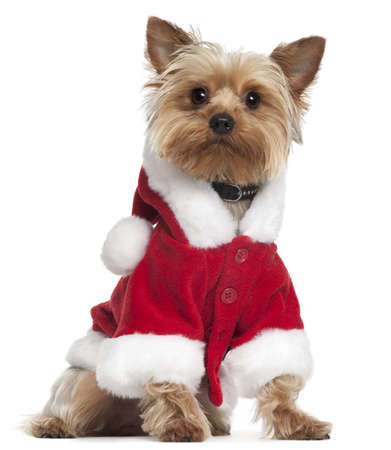 Yorkshire Terrier wearing Santa outfit, 12 months old, sitting in front of white background