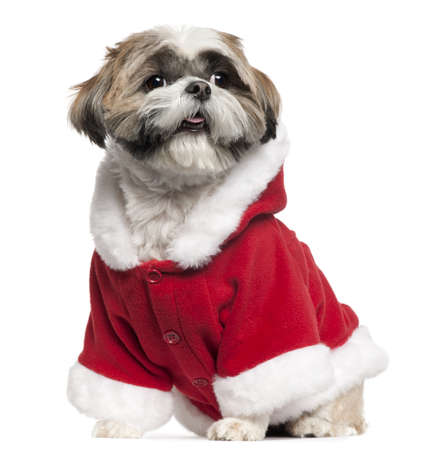 Shih Tzu wearing Santa outfit, 4 years old, sitting in front of white background photo