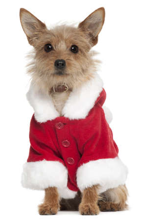 santa outfit: Mixed-breed dog wearing Santa outfit, 10 years old, sitting in front of white background
