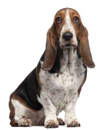 Bassett Hound, 6 years old, sitting in front of white background