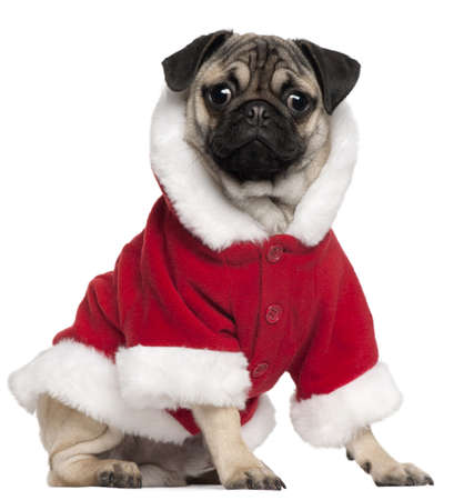 Pug puppy wearing Santa outfit, 6 months old, sitting in front of white background photo