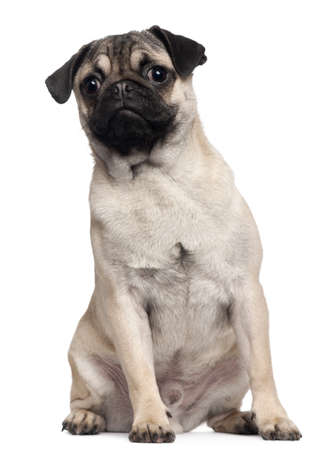 Pug puppy, 6 months old, sitting in front of white background photo