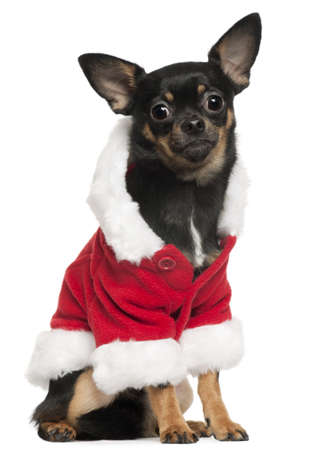 Chihuahua wearing Santa outfit, 10 months old, sitting in front of white background photo