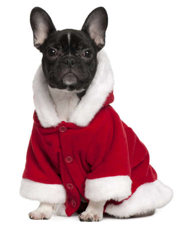 French bulldog puppy wearing Santa outfit, 6 months old, sitting in front of white background photo