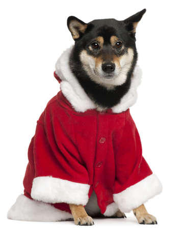 2 years old: Shiba Inu wearing Santa outfit, 2 years old, sitting in front of white background