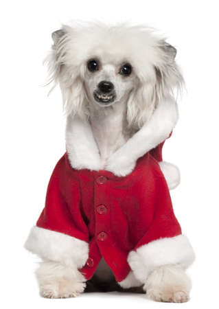 Chinese Crested Dog wearing Santa outfit, 1 year old, sitting in front of white background photo