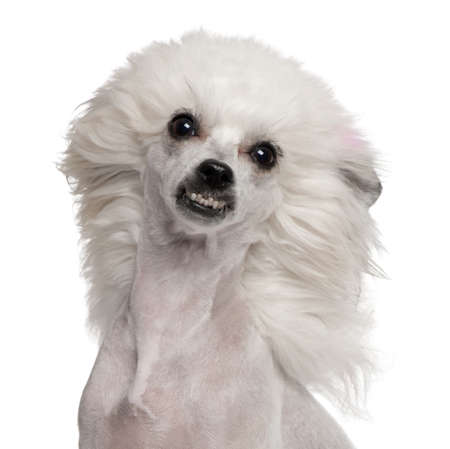 wind up: Chinese Crested Dog with hair in the wind, 1 year old, in front of white background