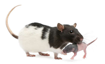Mother rat carrying her baby in her mouth, 5 days old, in front of white background photo