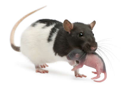 newborn rat: Mother rat carrying her baby in her mouth, 5 days old, in front of white background