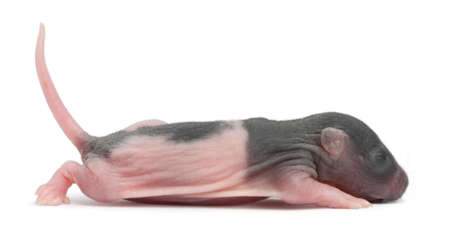 newborn rat: Baby rat, 5 days old, in front of white background