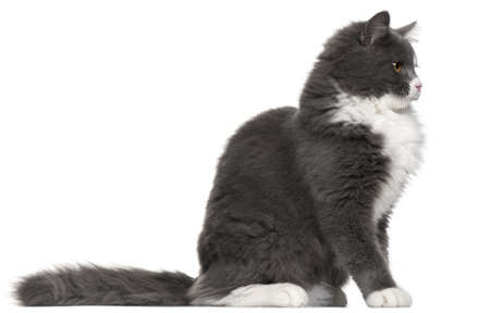 domestic cat: Grey and white cat, 5 months old, sitting in front of white background